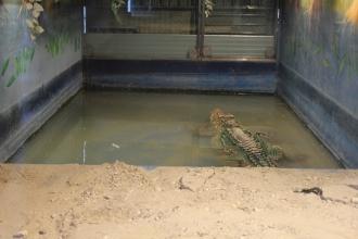 alligatore pantera rosa novembre 2012