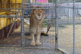leone pantera rosa novembre 2012